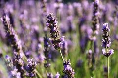 Lavendelblume in der Nahaufnahme Stockbild