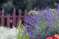 Lavendelblume im Garten, Park, Hinterhof, Wiesenblüte im Th Lizenzfreie Stockfotos
