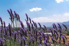 Lavendelblume mit blauem Himmel Stockfoto