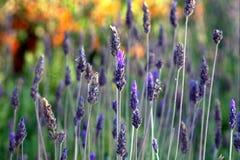 Lavendelblumen Lizenzfreie Stockbilder
