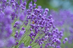 Lavendelblumen. Stockfotos