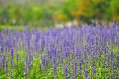 Lavendelblumen lizenzfreie stockfotografie