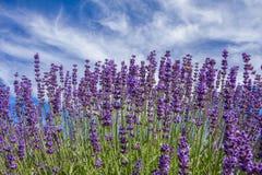 Lavendelblumen auf dem Gebiet Stockbilder