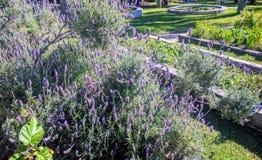 Lavendelblumen im Garten Lizenzfreie Stockfotografie