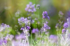 Lavendelblumen im Garten, Mehrfachbelichtung lizenzfreie stockfotos