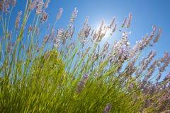 Lavendelblumen mit dem blauen Himmel lizenzfreie stockfotos