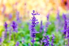 Lavendelblumenabschluß oben in der Feldunschärfe bunt Lizenzfreie Stockfotos
