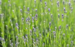 Lavendelblumenfeld Lizenzfreie Stockfotos