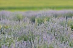 Lavendelblumenfeld Stockbilder
