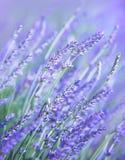 Lavendelblumenfeld Lizenzfreies Stockfoto
