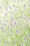 Lavendelblumenfeld Stockfotos