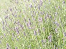 Lavendelblumenfeld Lizenzfreie Stockbilder
