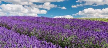 Lavendelblumenfeld, Bild f?r nat?rlichen Hintergrund Sehr sch?ne Aussicht der Lavendelfelder lettland stockbilder