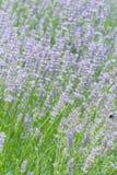 Lavendelblumenfeld am Sommer Stockfotos
