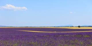 Lavendelblumenfeld, Weizenzeilen. Provence Stockbild