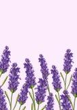 Lavendelblumenhintergrund Lizenzfreies Stockfoto