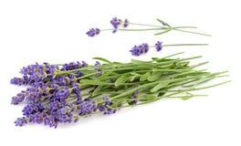Lavendelbos op een wit Stock Foto