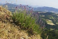 Lavendelbovenkant van heuvel Stock Fotografie