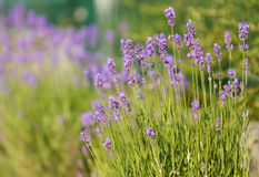 Lavendelbusch lizenzfreies stockbild