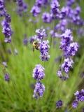 Lavendelbuske med ett bi Arkivbild