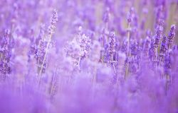 Lavendelbuskecloseup på solnedgång Royaltyfria Foton