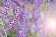 Lavendelbuskecloseup på solnedgång blomma lavendel Solnedgångglimt över purpurfärgade blommor av lavendel Arkivbild