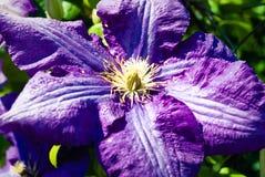 Lavendelclematissen - Foto van een lichte stroom van lavendelclematissen Royalty-vrije Stock Fotografie