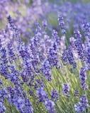 Lavendelclose-up Stock Foto