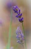 Lavendelclose-up met zachte achtergrond Stock Afbeeldingen