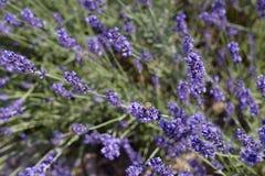Lavendelcloseup Royaltyfri Fotografi
