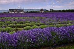 Lavendeldal Royaltyfri Fotografi