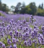 Lavendeldetail Royalty-vrije Stock Fotografie
