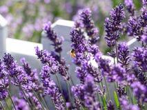 Lavendeldetail Lizenzfreies Stockfoto