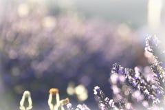 Lavendeldroom Royalty-vrije Stock Afbeelding