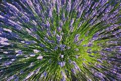 Lavendelexplosion Stockbilder
