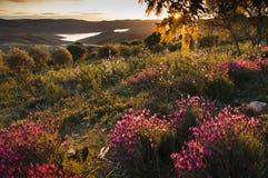 Lavendelfält Royaltyfria Foton