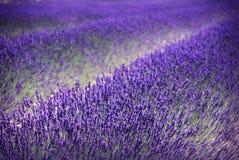 Lavendelfält Arkivbilder