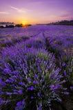 Lavendelfält Arkivbild