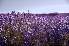 Lavendelfält Royaltyfri Fotografi