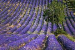 Lavendelfält arkivfoto