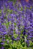 Lavendelfält Royaltyfri Bild