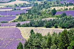 Lavendelfält royaltyfria bilder