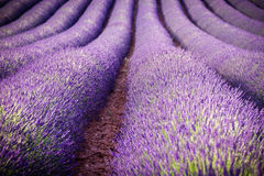 Lavendelfält Fotografering för Bildbyråer