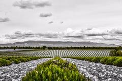 Lavendelfält av Provence i Juni som är svartvita med grön lavendel arkivfoto