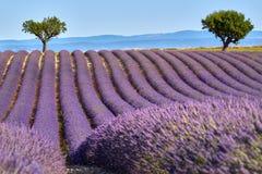 Lavendelfält av Valensole i sommar Alpes de Haute Provence, Frankrike royaltyfria bilder