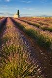 Lavendelfält av Valensole med det cyperssträdet och huset i sommar på solnedgången Alpes de Haute Provence, Frankrike royaltyfri fotografi