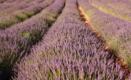 Lavendelfält, Franschhoek, South Africa Royaltyfria Bilder