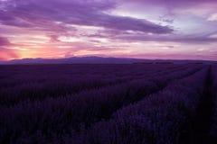 Lavendelfält Härligt avbilda av lavendel sätter in Sommarsolnedgånglandskap som kontrasterar färger arkivfoton