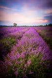 Lavendelfält i Bulgarien royaltyfri foto