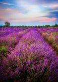 Lavendelfält i Bulgarien arkivbilder